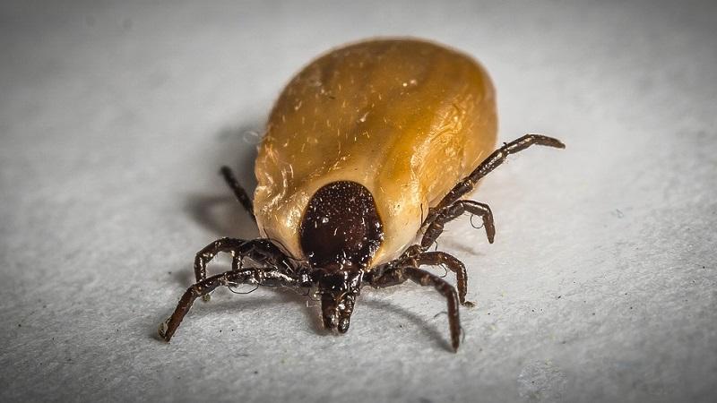 Die Zecke: Ein bekannter Parasit
